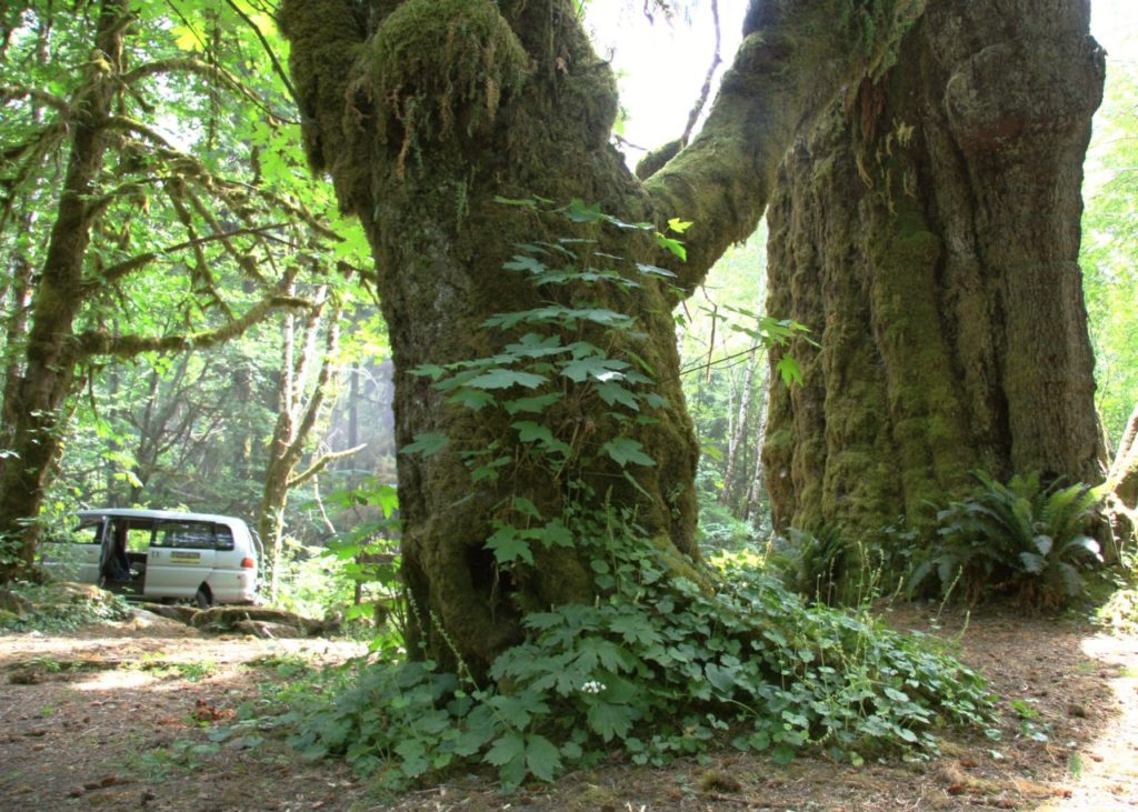 Drea Gibson's Mitsubishi Delica van is dwarfed by the San Juan spruce, one of the more readily accessible old-growth giants of the San Juan valley.