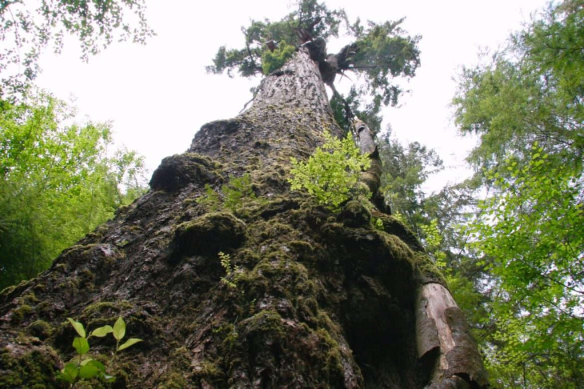 On the hunt for big trees? Let Daytrip Drea be your guide